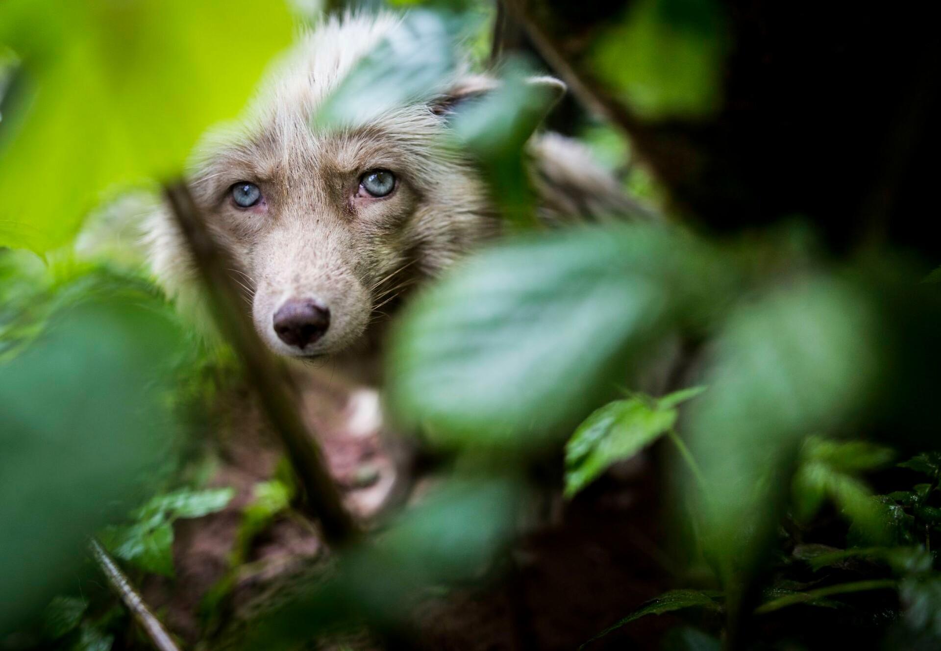 Fuchs versteckt im Gehölz