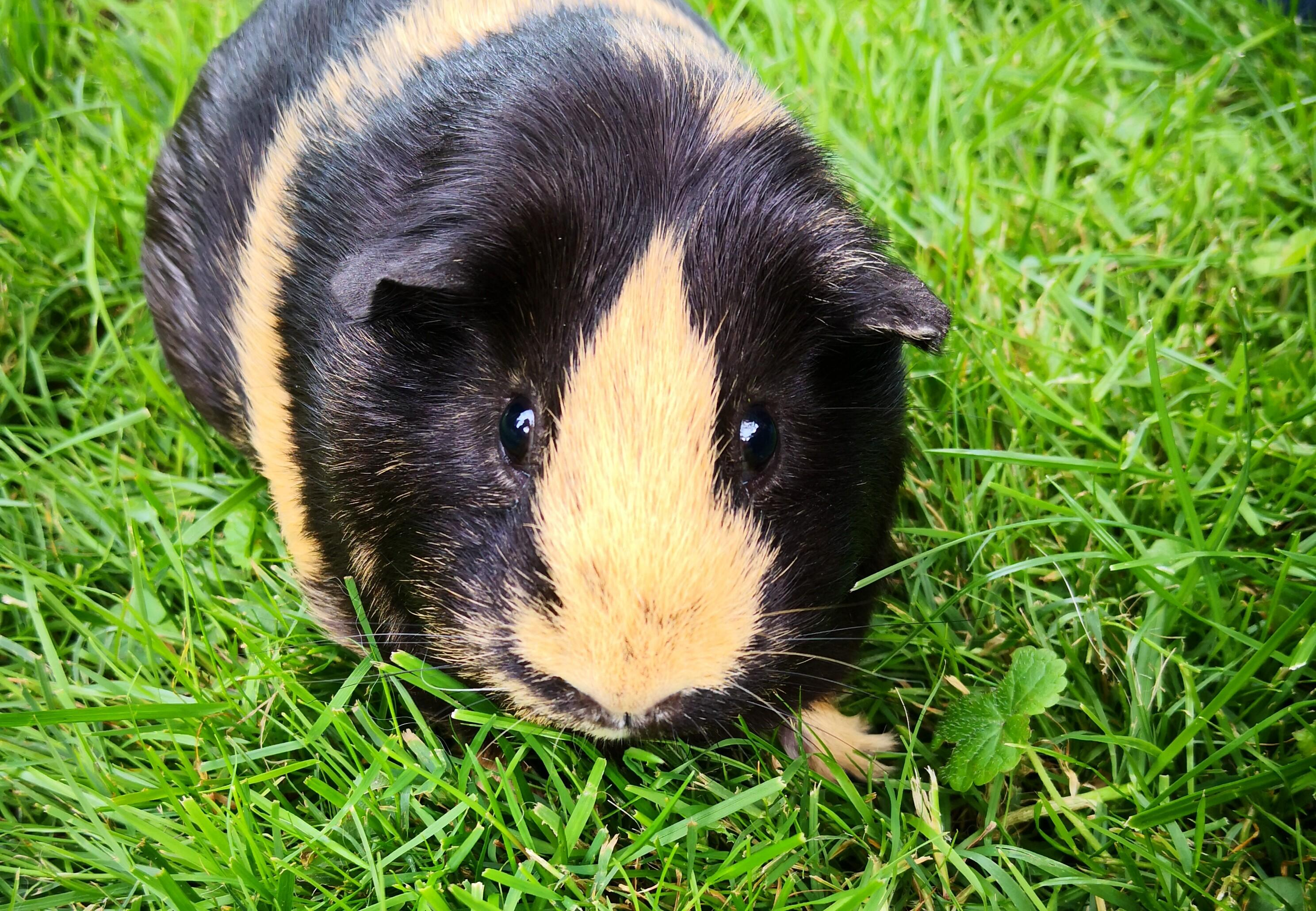 Guinea Pigs – Their History - Publications & Guides - Our Stories - FOUR  PAWS International