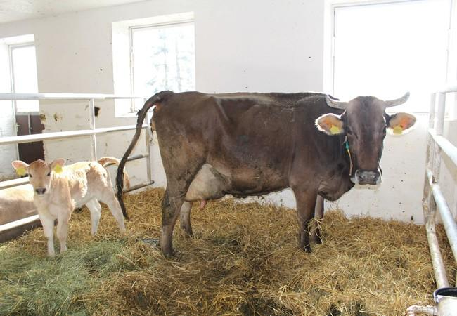 Happy cow with her calf