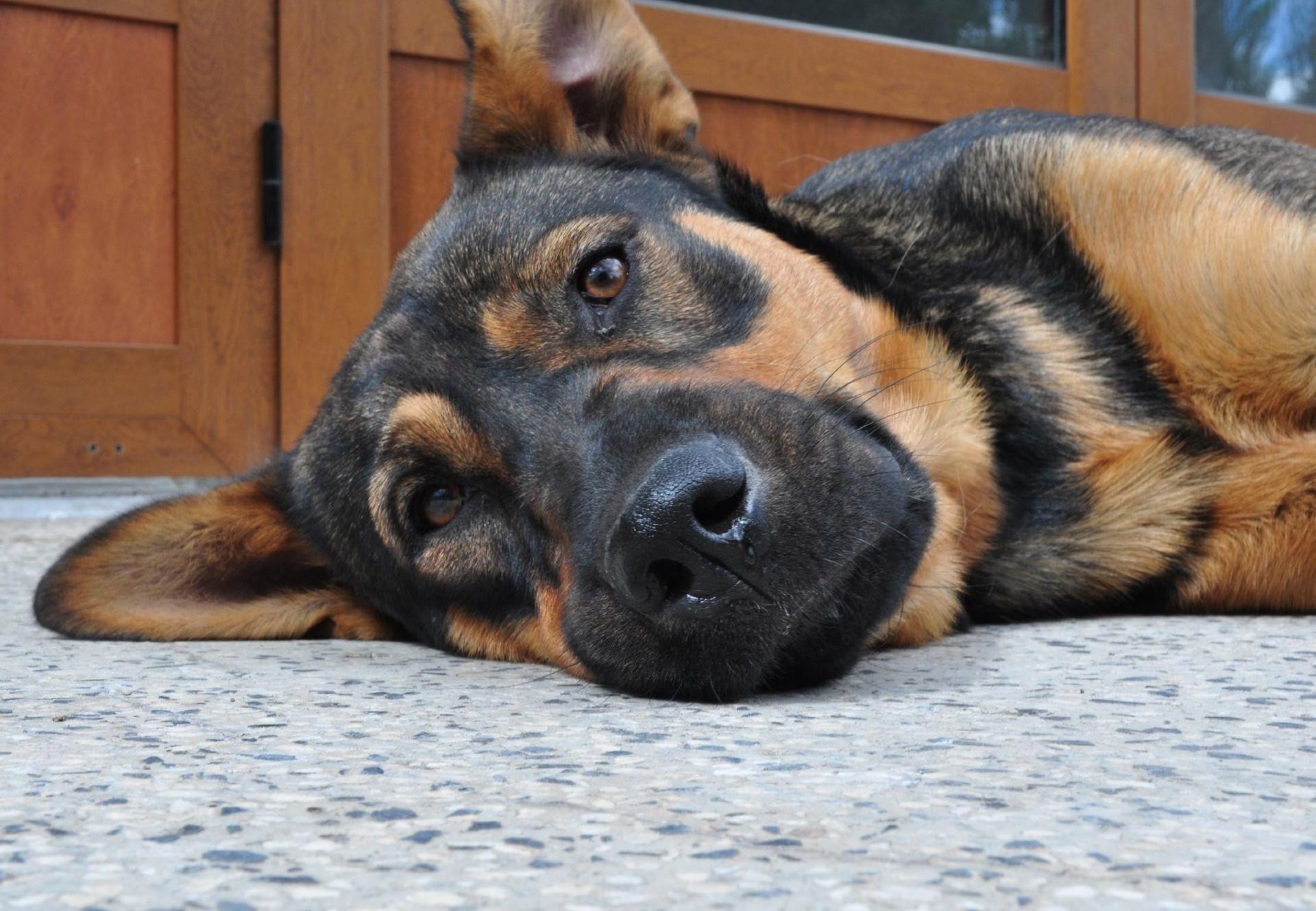 dog-brown-furniture-floor