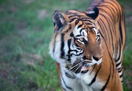 Dieser Tiger konnte gerettet werden