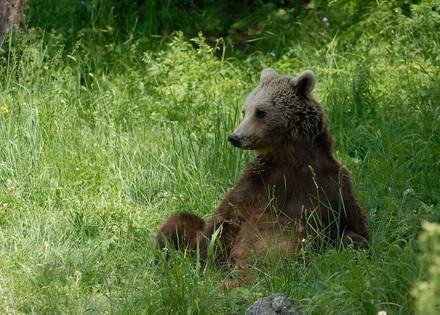 Ours brun installé confortablement dans l'herbe