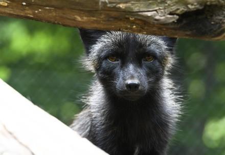 Fox Mika