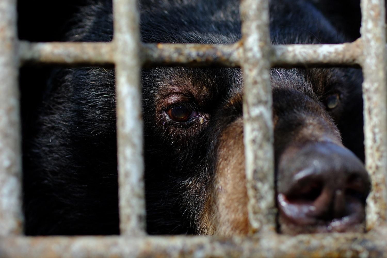 Kragenbär im Käfig