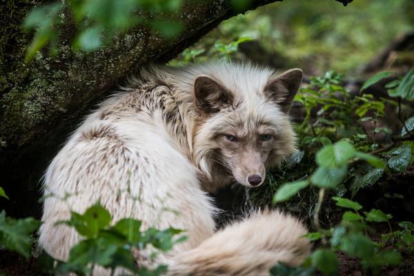 Fuchs in TIERART