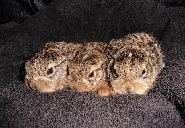 Drei Feldhasenbabies