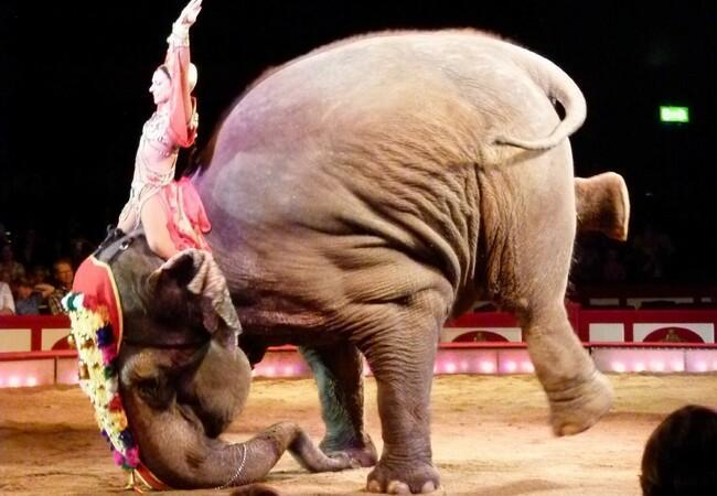 Elefant macht Kunststück im Zirkus