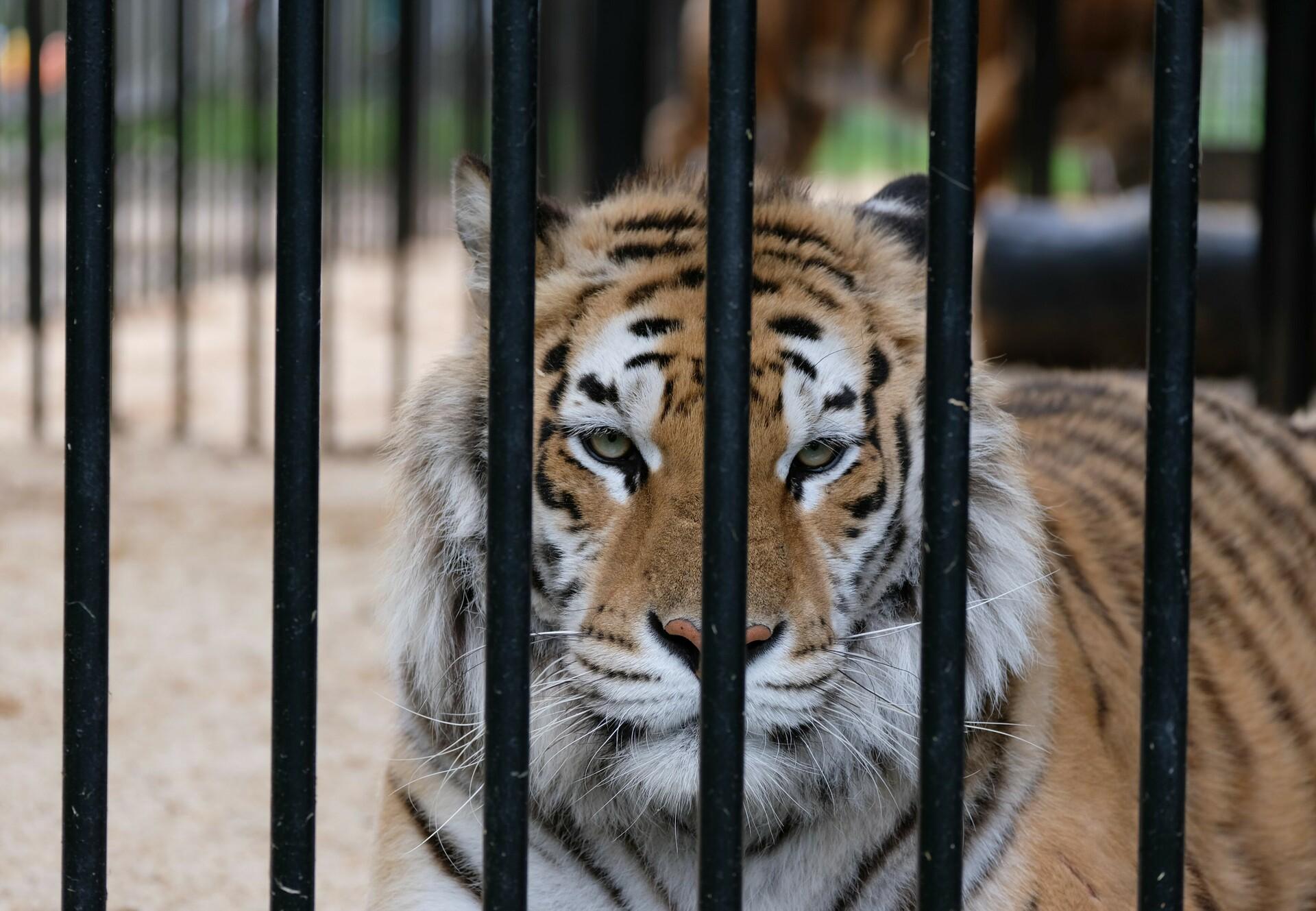 Tiger behind cage bars