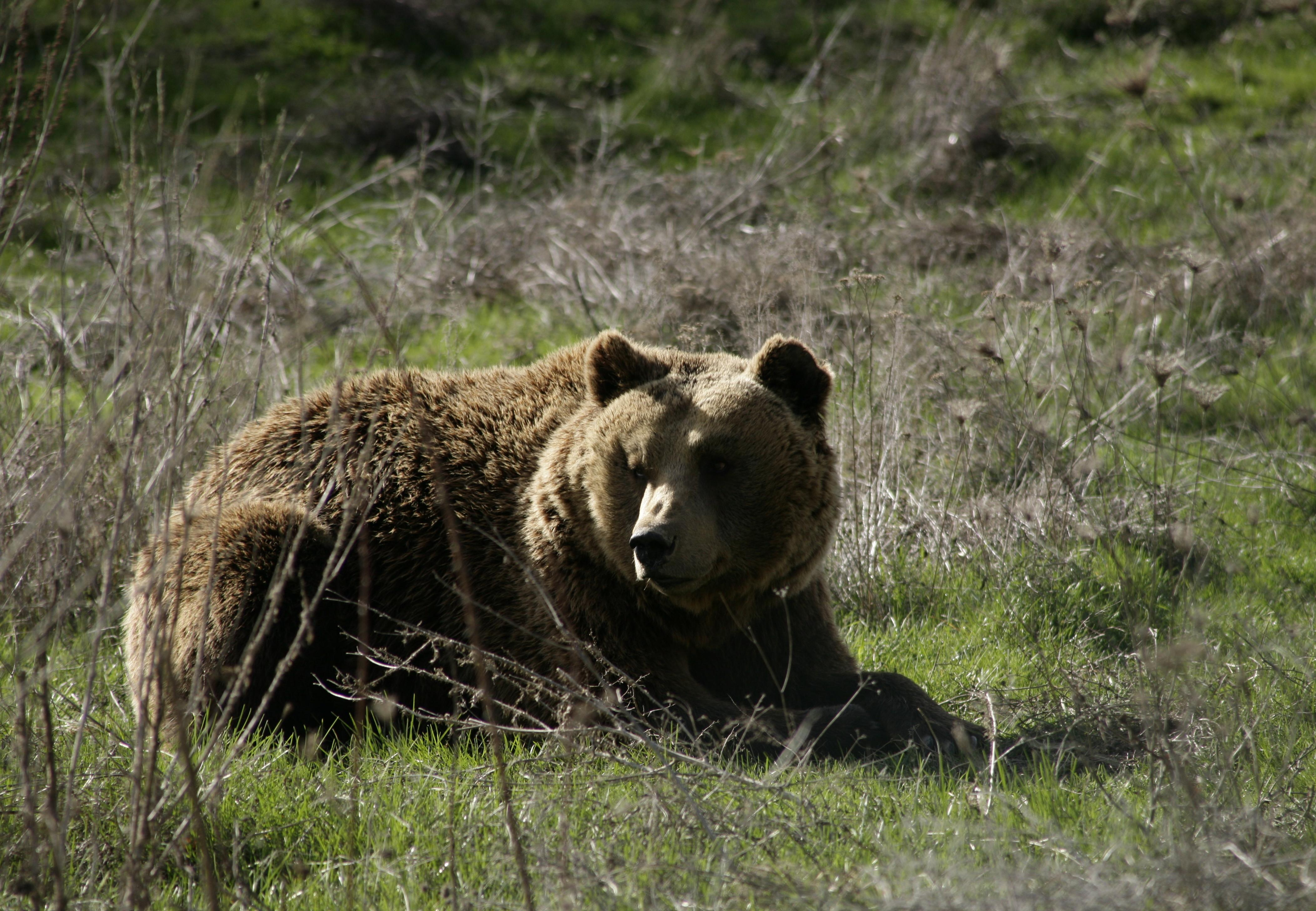 Brown Bear Mal sitting in the grass