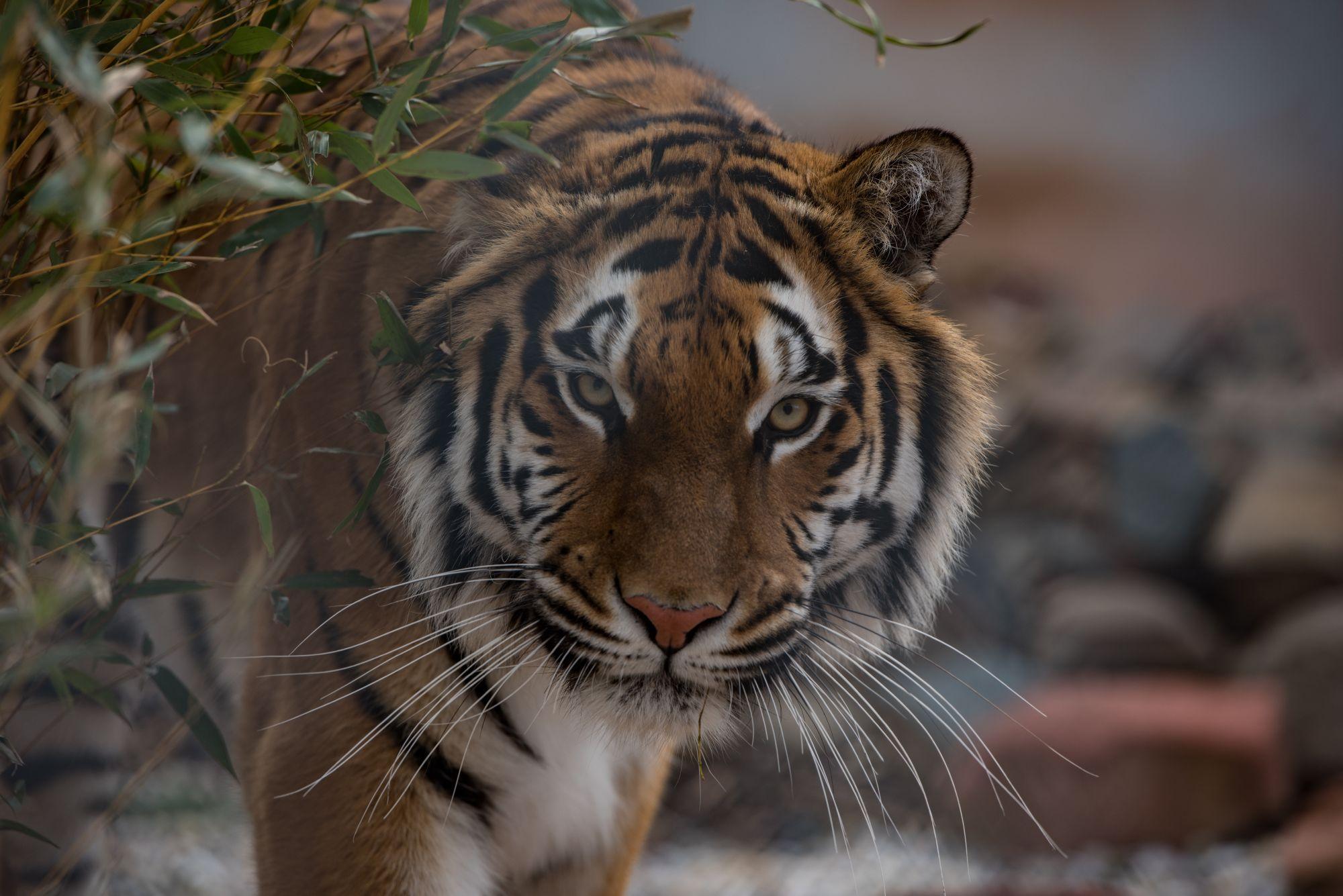 Tigerdame Cara in der TIERART Wildtierstation 2018