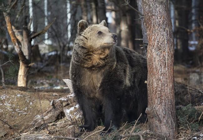 Bear Riku at DANCING BEARS PARK Belitsa, Bulgaria