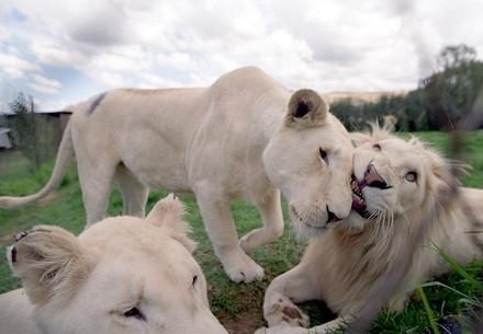 Le conte de fée des lions blancs