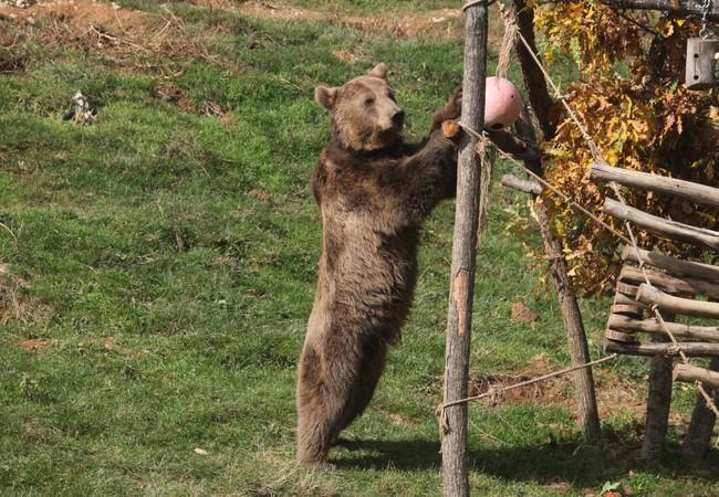 Brown bear Pashuk playing with enrichment