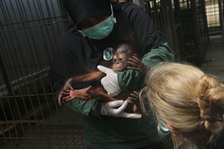 Orangutan Gonda when he was rescued