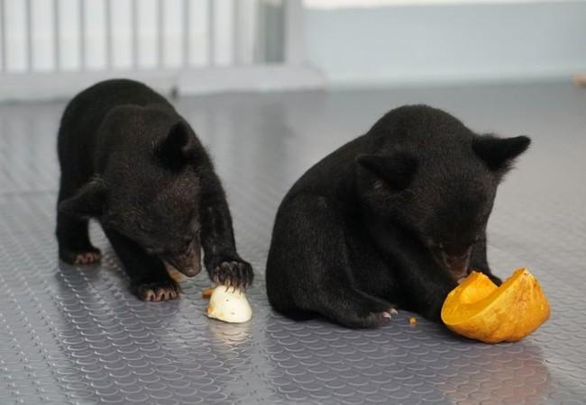 Asiatic black bear cubs in Ninh Binh