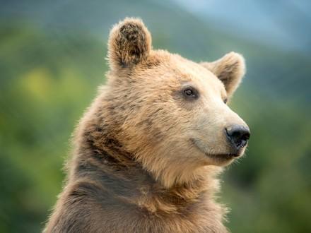 Bear Gjina