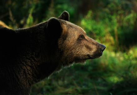 Animal Charity - Bear looking to the right