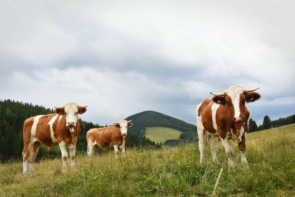 Ochsen auf der Weide