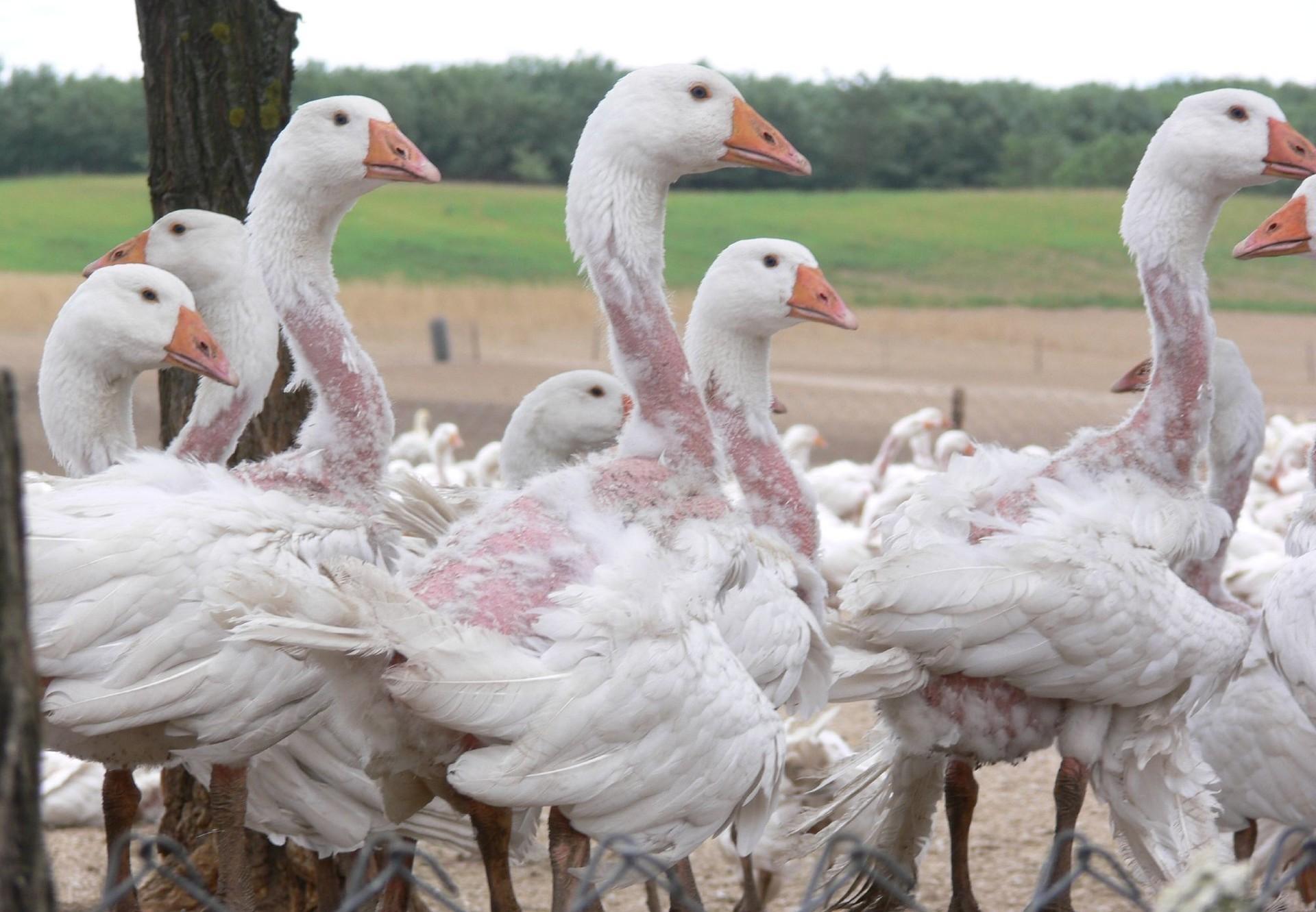 Le plumage à vif: une souffrance intolérable