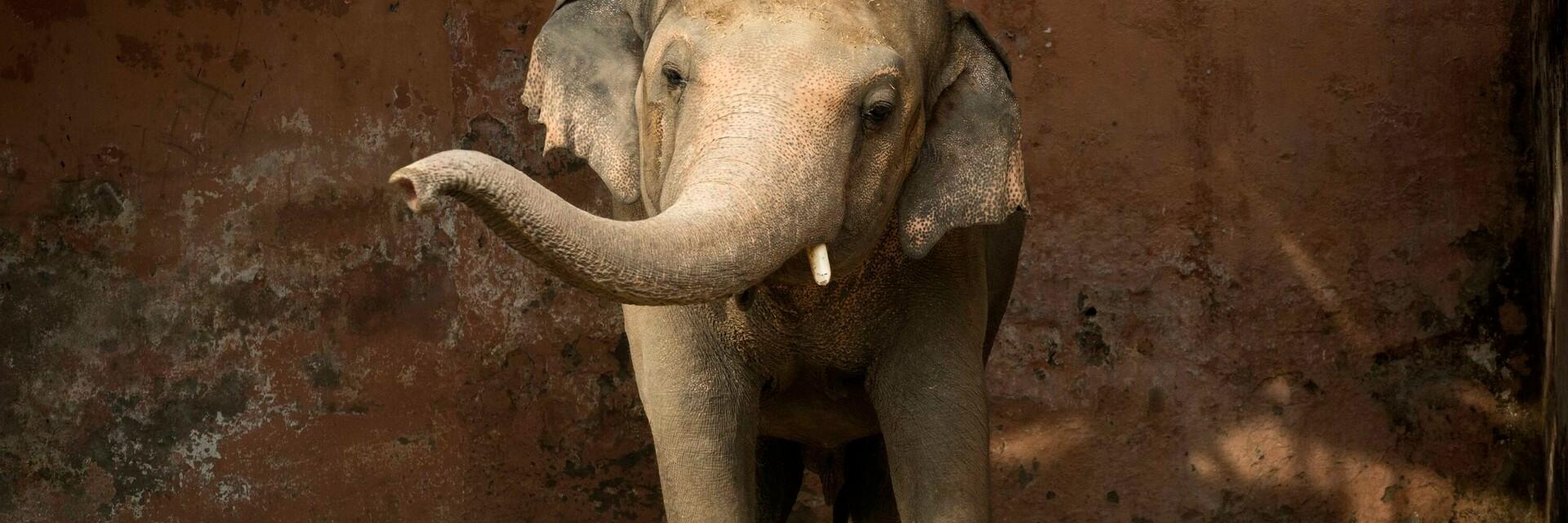 Rescued elephant Kaavan