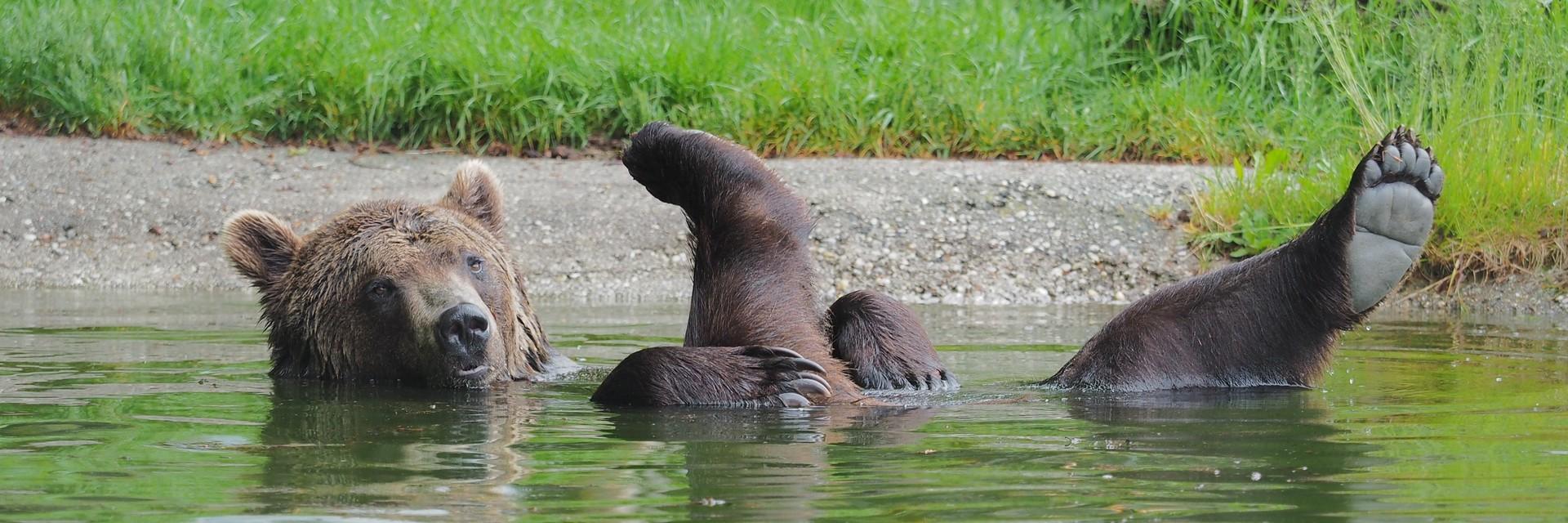 Braunbär Erich im Teich, streckt Beine in die Luft