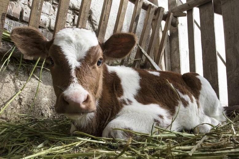 cow-farm-grass