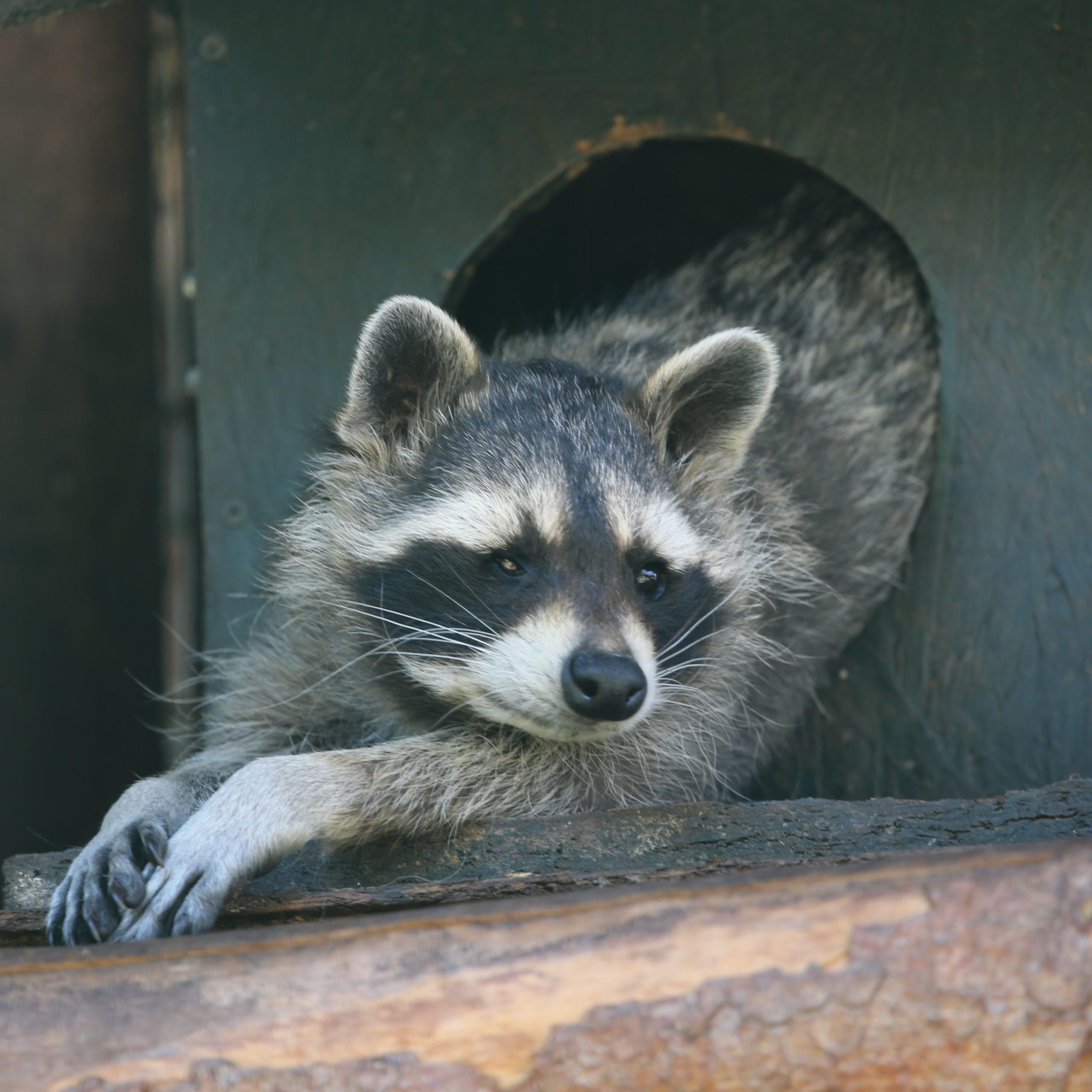 Lazy raccoon at TIERART
