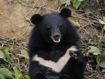 Bear Lilli