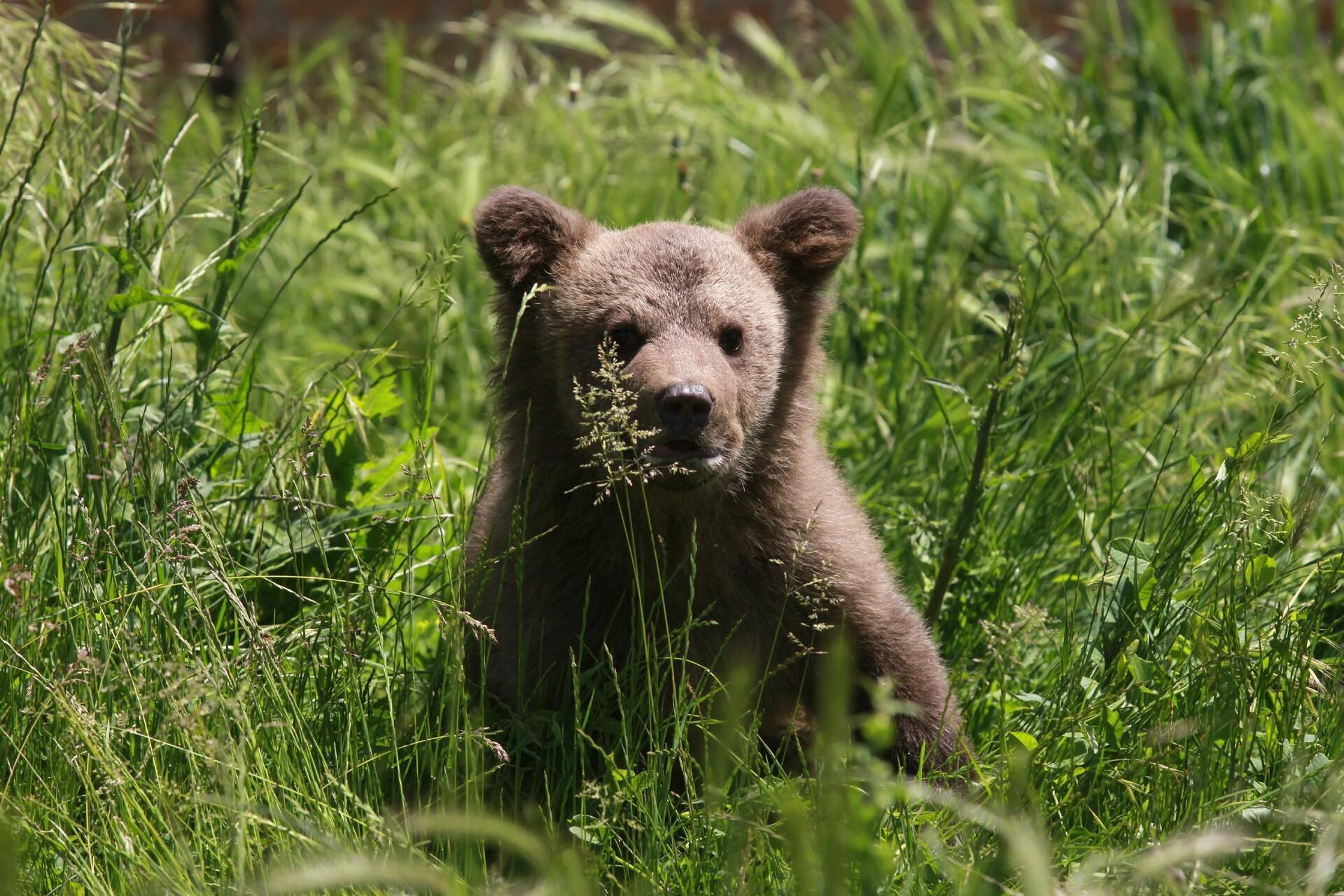 Bärenjunges Andri im hohen Gras