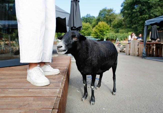 Sheep Lulu at TIERART