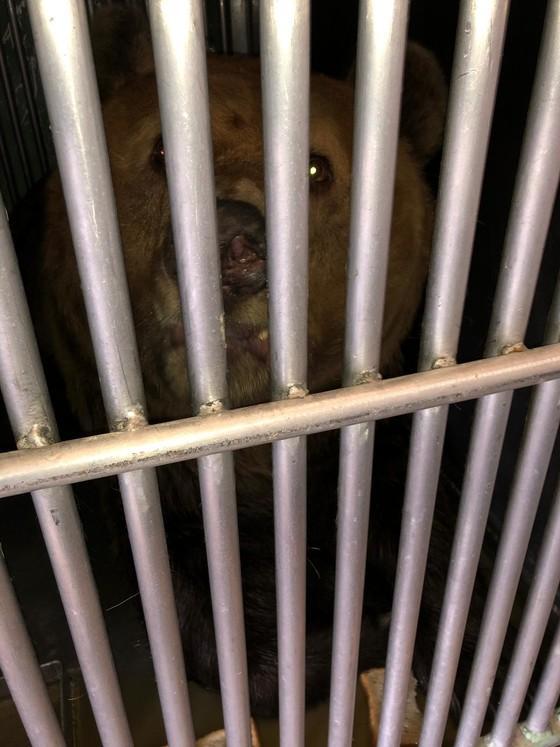 Die Bären im Käfig während dem Transport