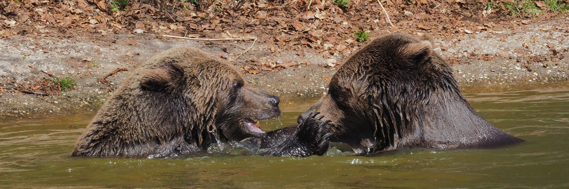 Bears Erich and Emma playing in the water