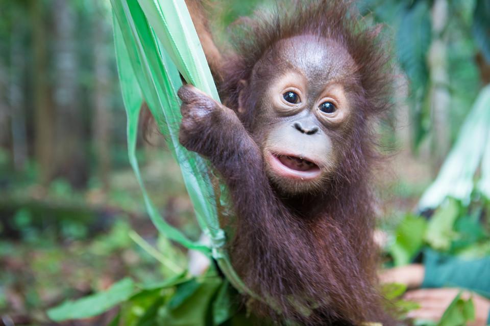 Orang-Utan-Baby Tegar pflückt Blätter