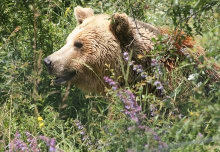 Brown bear Mira