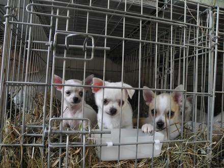 Drei junge Welpen in einer Gitterbox. Die Hunde schauen neugierig in die Kamera
