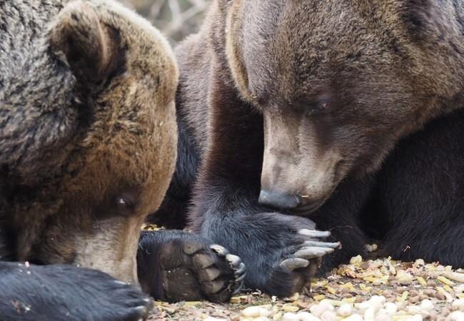 Two bears laying on the ground