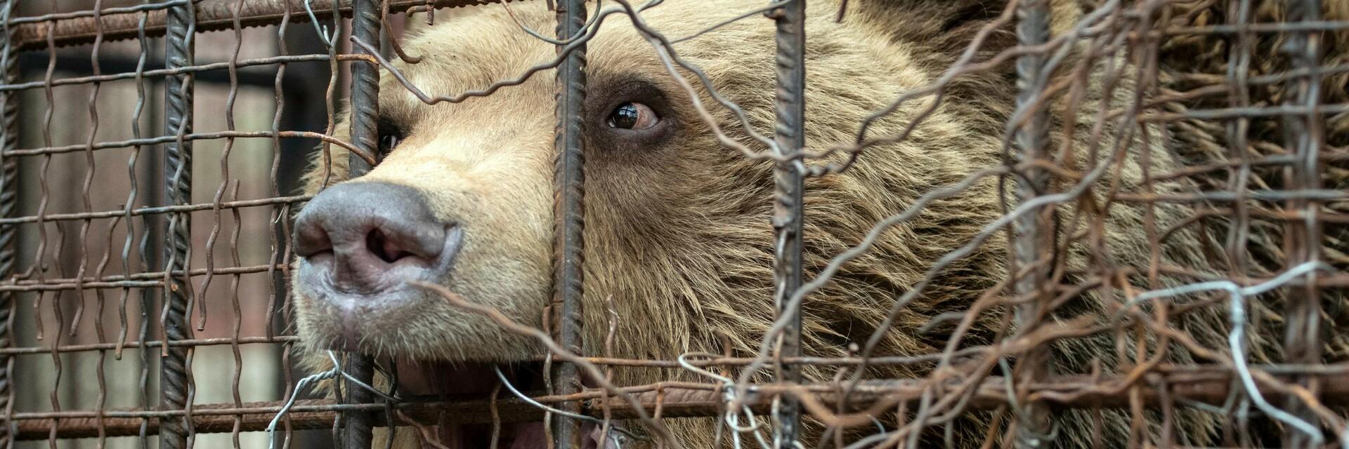 Teddy leidet in seinem Käfig