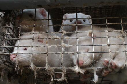 Mink in a fur farm