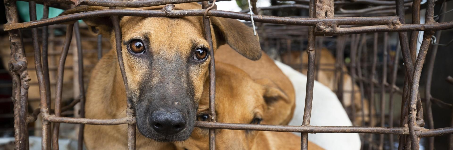Dogs in a cage in Southeast Asia