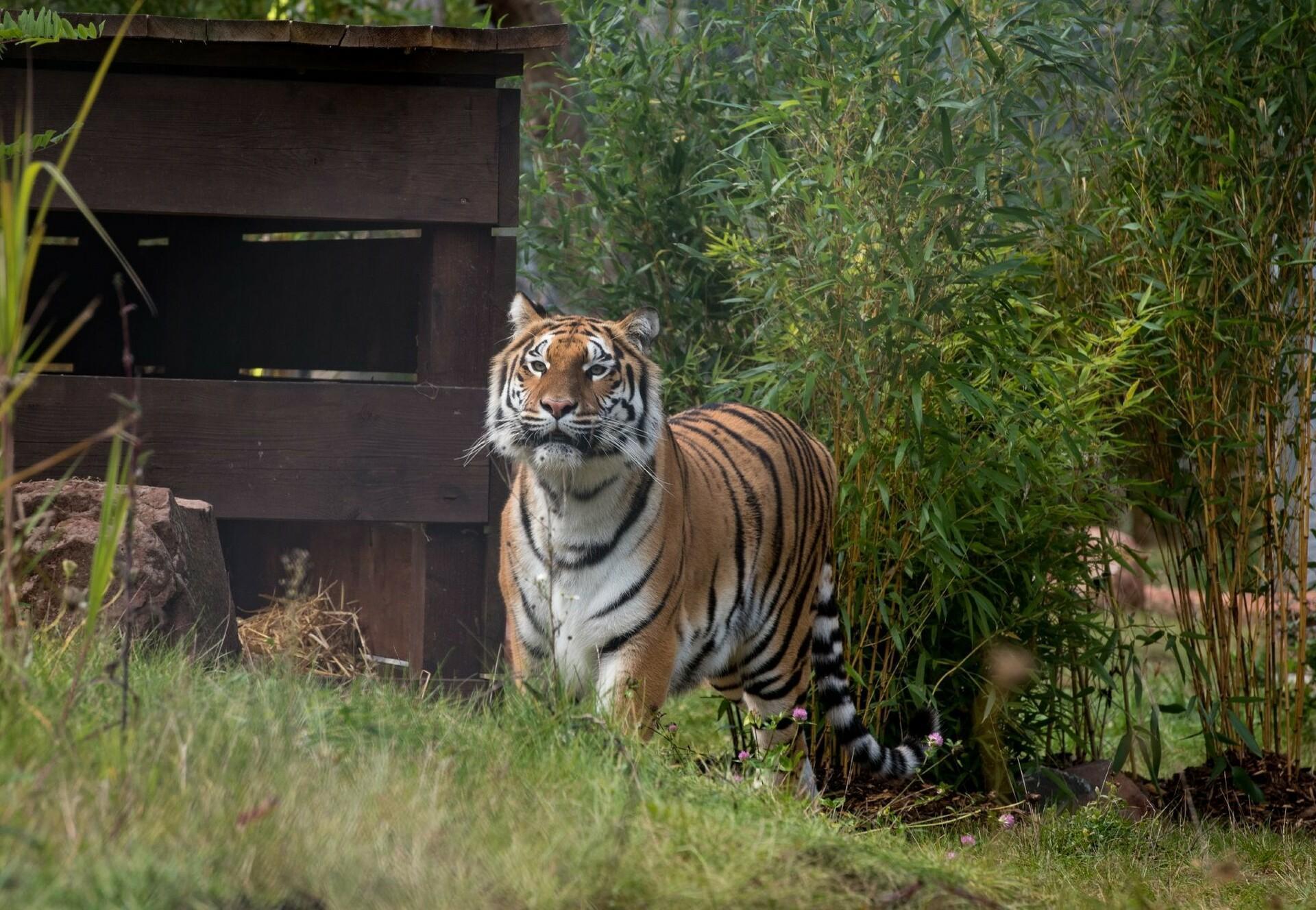 Tigerin Cara in der TIERART Wildtierstation 2017