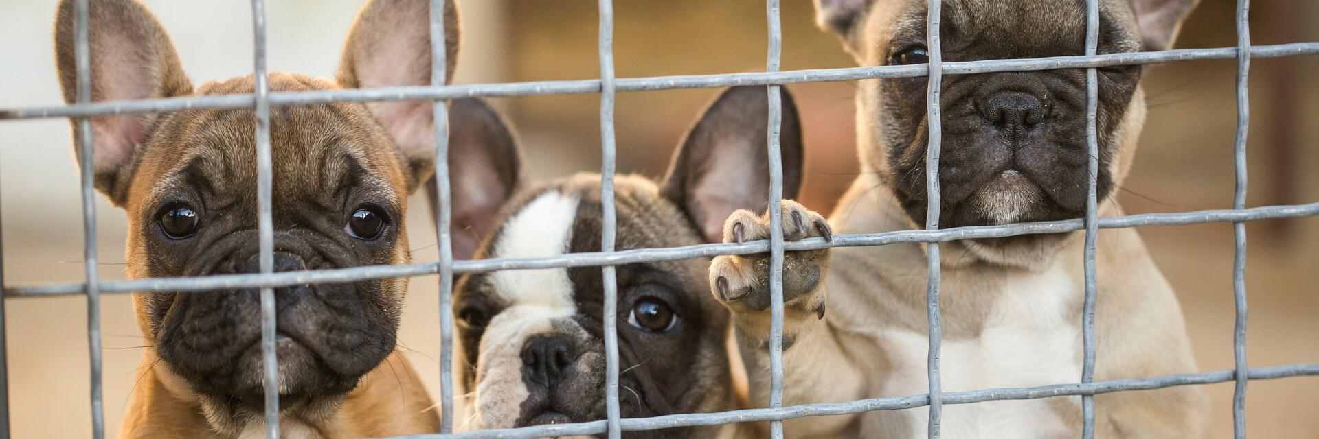Pitiful puppies in cages