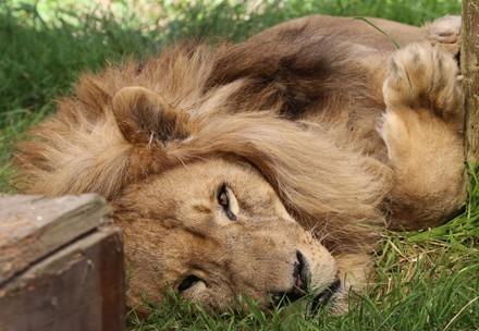 Lion Bobby