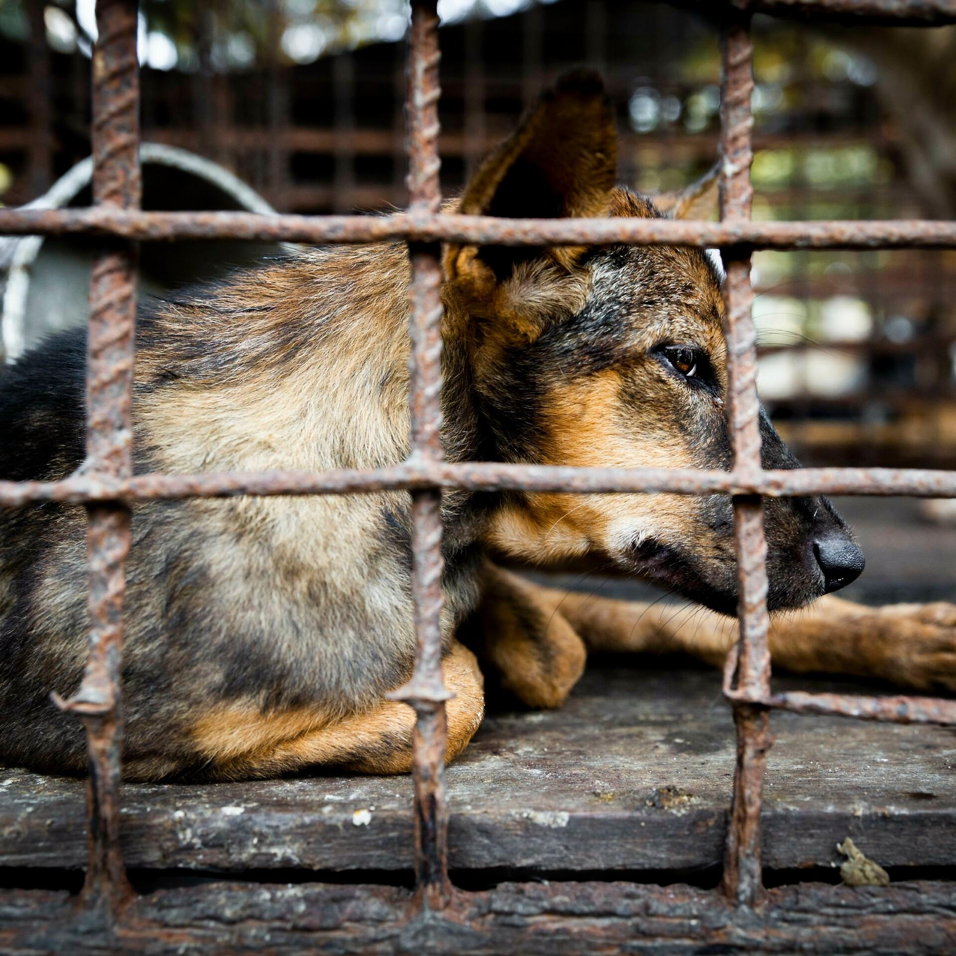 Hund in Käfig bei einem Markt für Hundefleisch