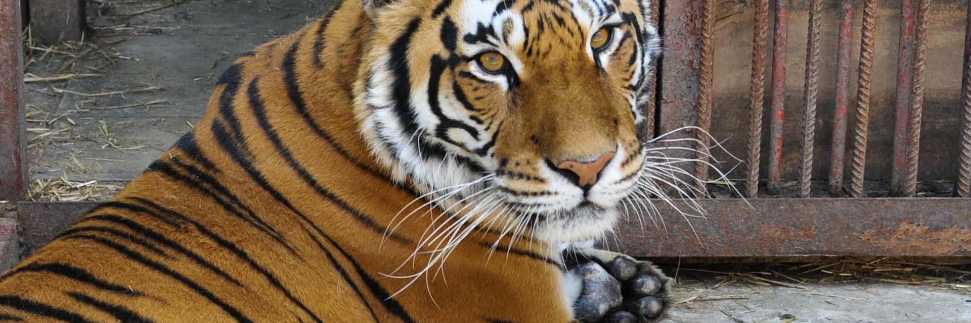Tiger Transfer