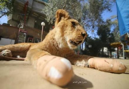 Mutilated lioness