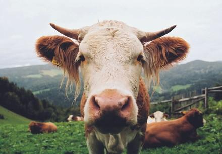 Kuh in Freilandhaltung