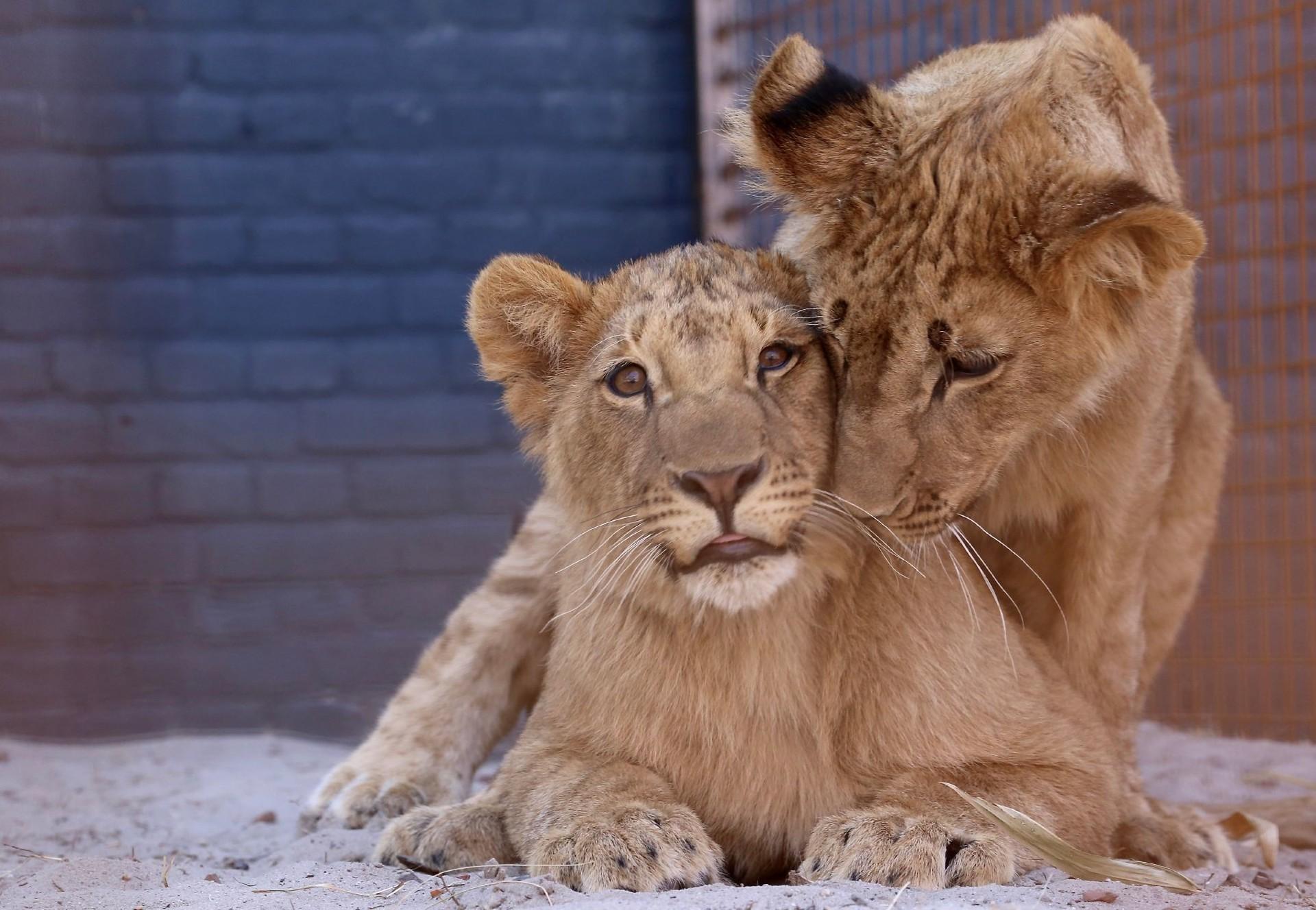 Gerettete Löwen Masoud und Terez