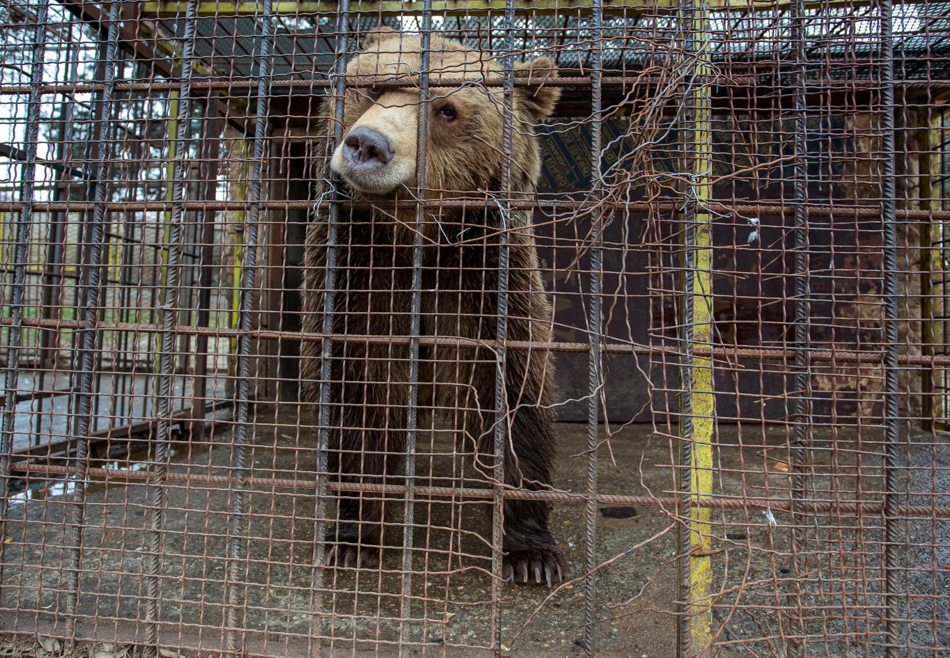 Bear Teddy in a tiny cage