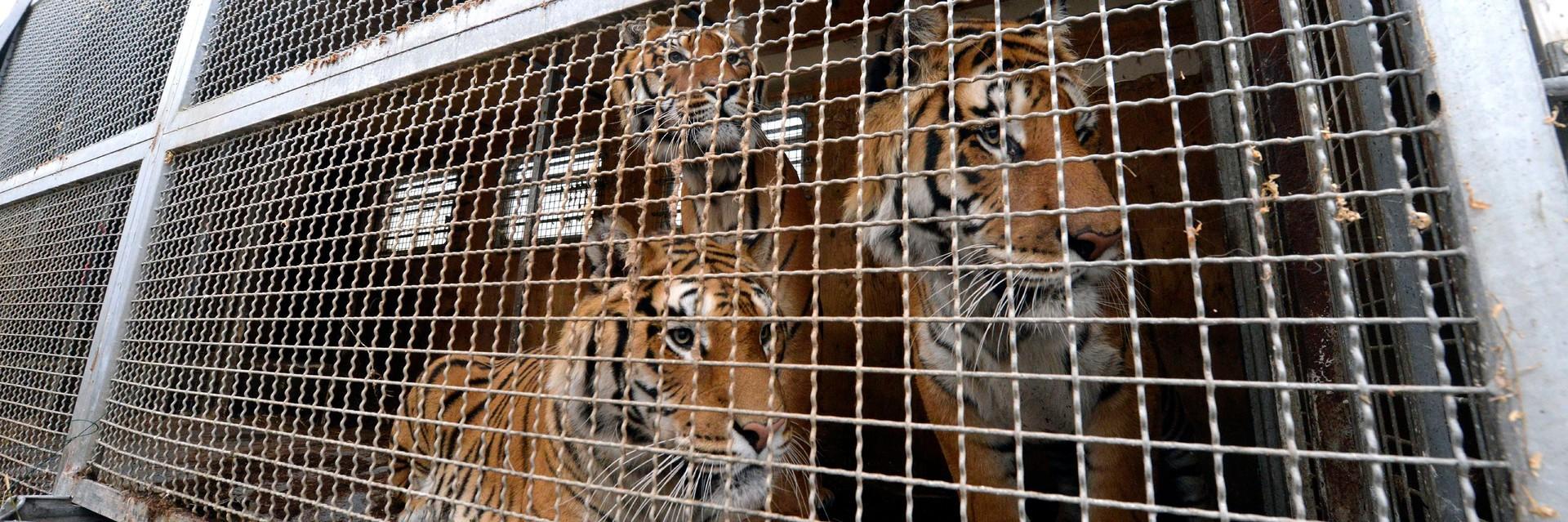 Tiger in einem Käfig