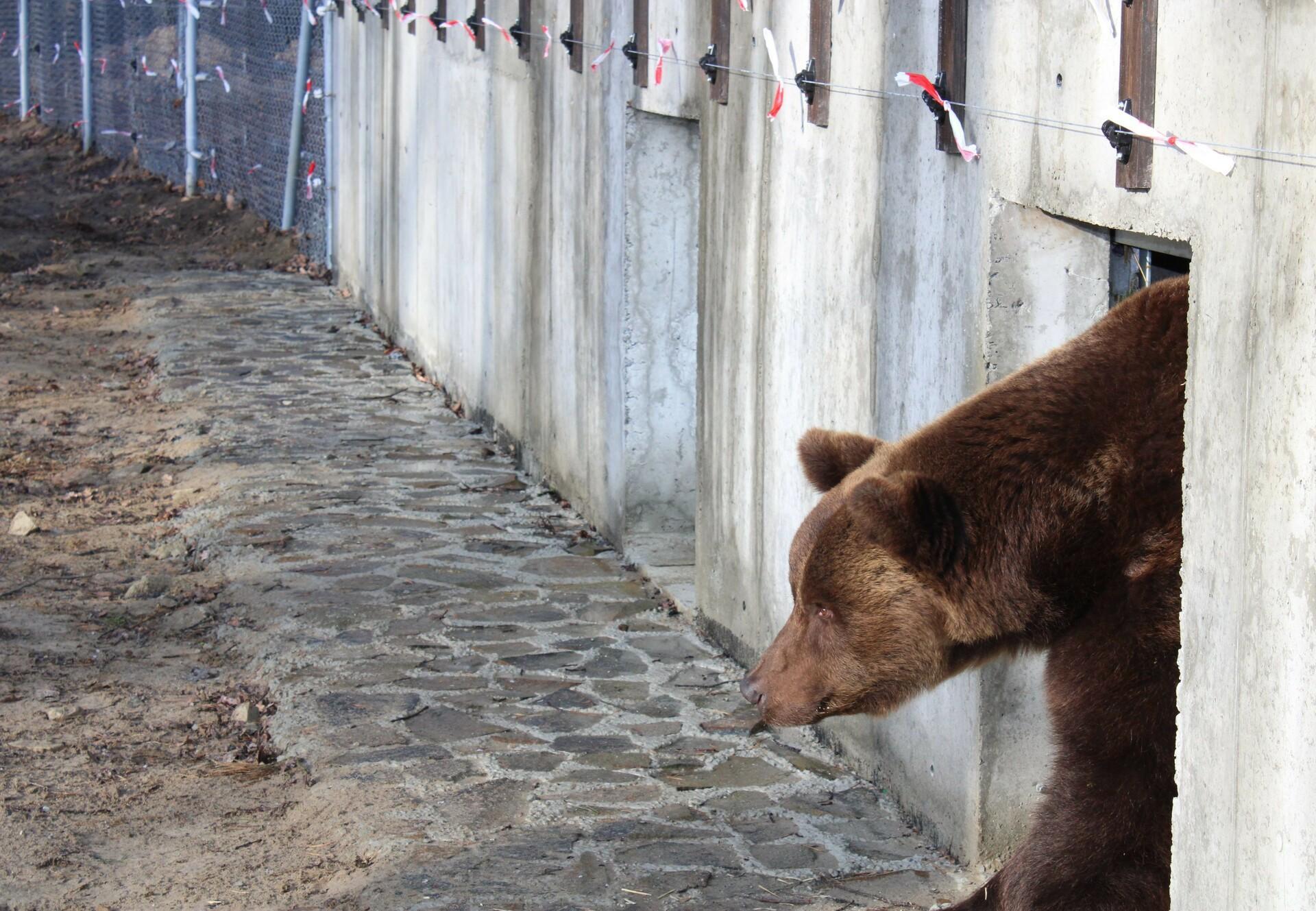 Bear Misha at BEAR SANCTUARY Domazhyr